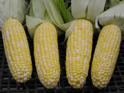 One stalk has 1 or 2 ears of corn.