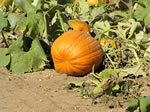 Enough pumpkins for everyone!