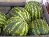 Plenty of great tasting watermelons for everyone!